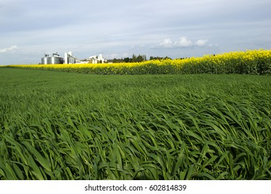 Wheatfield montaison stage