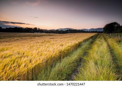 Wheatfield nearing Harvest Time in Clackmannanshire, Scotland