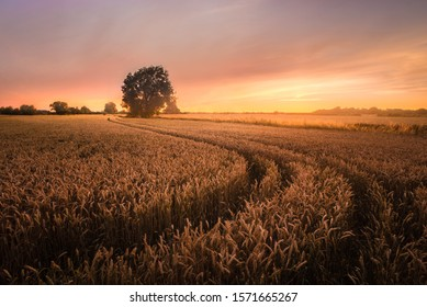 Wheatfields leading to a lone tree at sunset