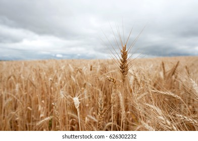 Wheatfields in South Africa