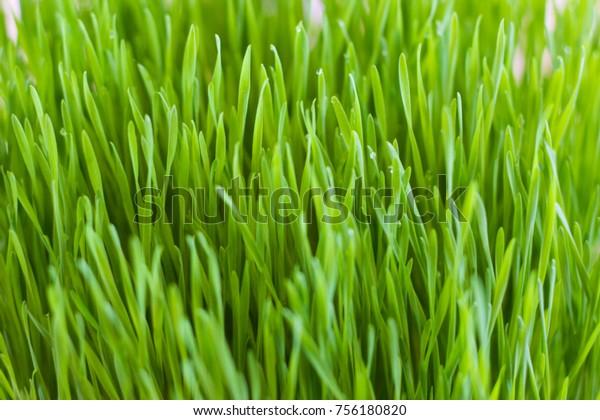 Wheatgrass Green Fertility Has Long Tall Stock Photo (Edit