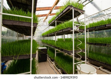 Wheat-grass produced in greenhouse on trays