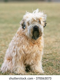 Wheaton Terrier dog sitting looking at the camera