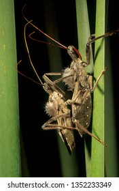 Wheel bugs (Arilus christatus) mating. Wheel bugs are a type of assasin bug, using their long beak-like mouth parts to pierce prey and suck out insides. Bite can be painful.