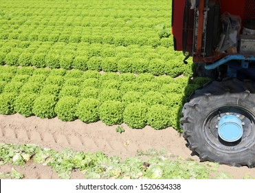 wheel of a tractor on the cultivated field with green lettuce