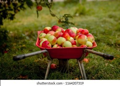 Wheelbarrow with apples, autumn concept. Apples in a wheelbarrow