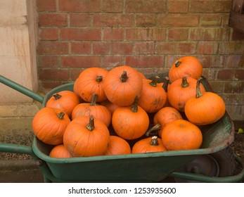Wheelbarrow Full of Pumpkins (Cucurbita maxima) in a Garden in Rural Somerset, England, UK