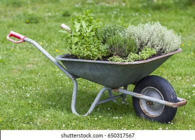 wheelbarrow with herbs