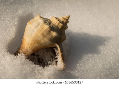 A whelk found in the snow, 1 March 2018