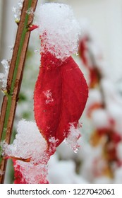 When fall meets winter - red leaf covered in snow