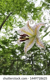 When the gold-banded lily blooms