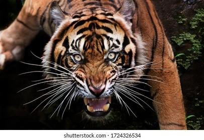 when the mood of the beautiful Sumatran tiger is bad