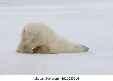 Quand l'ours polaire fait le scotch à travers la neige, il a l'air fatigué ou triste.  Churchill (Manitoba) Le Canada est la capitale mondiale de l'ours polaire