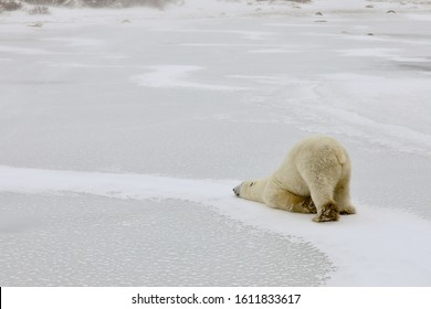 When the polar bear does the scooch across the snow, it looks tired or sad.  Churchill, Manitoba Canada is the polar bear capital of the world