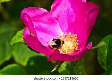When a White-tailed Bumble Bee alights on a flower such as this Rosa rugosa the pitch of the noise generated by its wing beats alters and the anthers release pollen at this exact frequency.