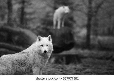 When your eyes cross wolf's look, black and white, with blurry background