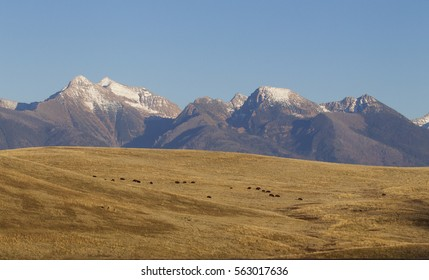 Where the Buffalo Roam:  Herd of wild Bison grazing on the National Bison Range, a National Wildlife Refuge on the Flathead Indian Reservation, western Montana, Mission Mountain Range on the horizon