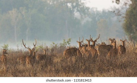 Where is the Tiger? Spotted Deer in the Kanha Tiger Reserve, India