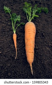 Which is better?  A big and tiny carrot on the ground.