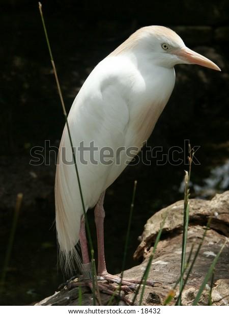 whie bird