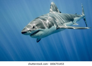 While large sharks, like tiger and white sharks, don't have to worry much about predators, small sharks aren't that lucky. Some shark species are incredibly small, so they can prey on larger species🦈