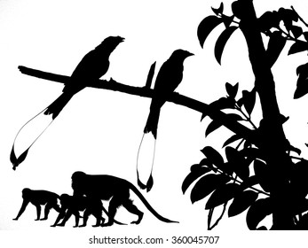 While the macaques swing from one tree branches to another, the hiding insects and worms in the tree crown are disturbed. Greater Racket-tailed Drongo birds take the chance to feed on the insects.