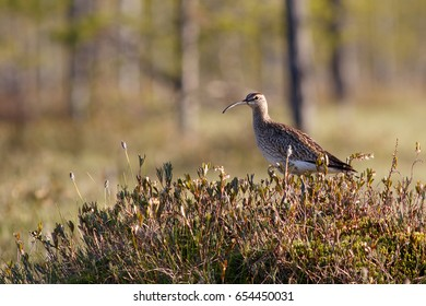 Whimbrel bird sitting on the swamp hummock