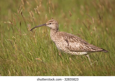 Whimbrel in grass