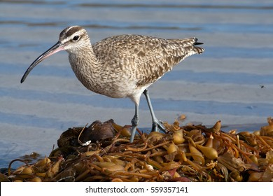 The whimbrel (Numenius phaeopus) is a common migratory shorebird found along coastlines throughout North and South America. It uses its long, curved bill to probe for invertebrates under the sand.
