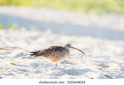 Whimbrel (Numenius phaeopus) Resting on a White Sand Rocky Beach in Mexico