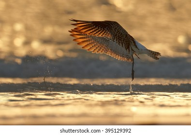 Whimbrel, Numenius phaeopus,wading bird with long curved beak in flight over white beach of Zanzibar island against blurred waves in background.