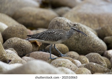 Whimbrel on rocky beach, St. Mary's Scilly Isles, Cornwall, UK.