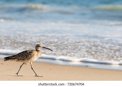 Whimbrel, shore bird walking on the beach in Laguna Beach, California, USA, close up with the surf in the background.