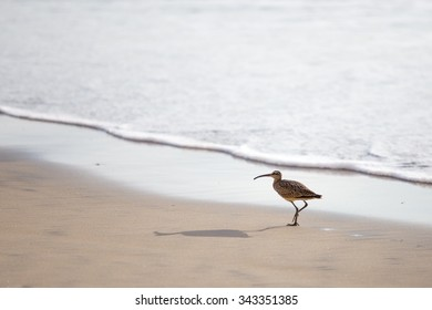 A whimbrel strolls on the beach in La Jolla, CA