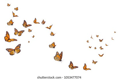 A whimsical arrangement of monarch butterflies in varies poitions of flight.  Basking, standing and flying poistions represented.
