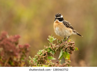 Whinchat perched on a plant, Bahrain