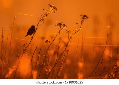 Whinchat (Saxicola rubetra), with beautiful orange coloured background. Colorful song bird  sitting on the plant in the steppe in the early morning. Wildlife scene from nature, Czech Republic