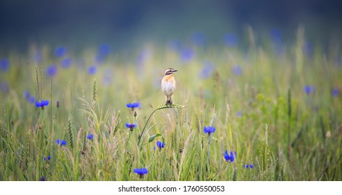 Whinchat saxicola rubetra female sitting on grass. Cute little common bright meadow songbird. Bird in wildlife, the best photo - Shutterstock ID 1760550053