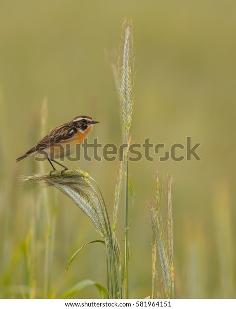 Whinchat - Saxicola rubetra - at the rye field in autumn - Trakai district, Lithuania