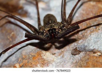 Whip Scorpion in the Cueva Del Viento of Guajataca Forest Reserve Puerto Rico