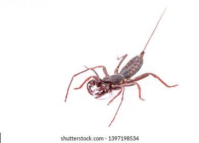 Whip Scorpion Isolated on White Background