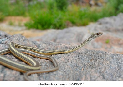 Whip snake western Colorado