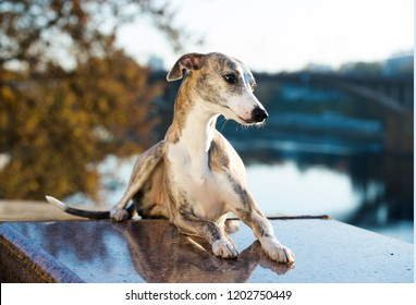 whippet in the autumn background