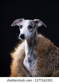 Whippet in the black background