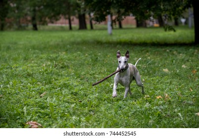 Whippet Breed Dog Running on the Grass. Branch in Mouth