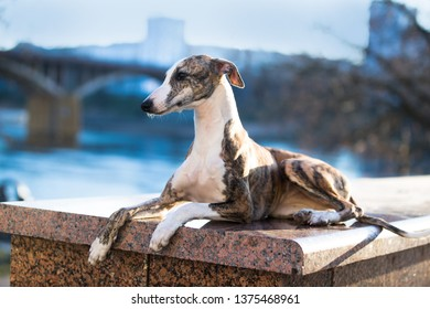 Whippet dog lying in front of against a cityscape background
