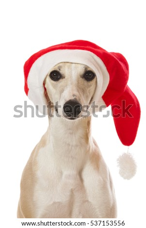 54873ff538a53 Whippet Dog Santa Hat Portrait Isolated Stock Photo (Edit Now ...