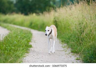 Whippet dog walkin on a gravel