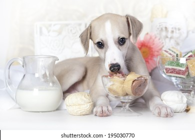 whippet puppy licking ice cream