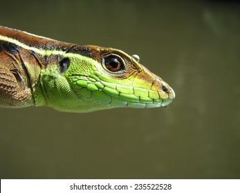 Whiptail lizard (Kentropyx calcarata)